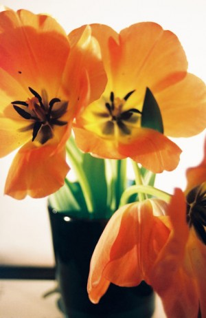 Visual Merchandising 'Gardens' Retail Shop, Austin, Texas Tulip in Glass